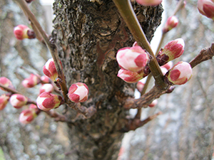 Apricot tree flower buds