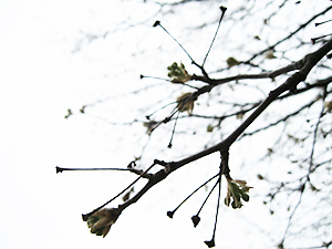 Dogwood tree flower buds